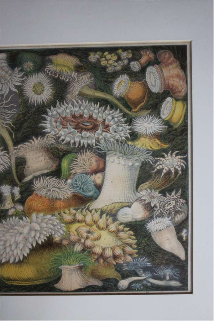 Victorian framed plate of Sea anemone