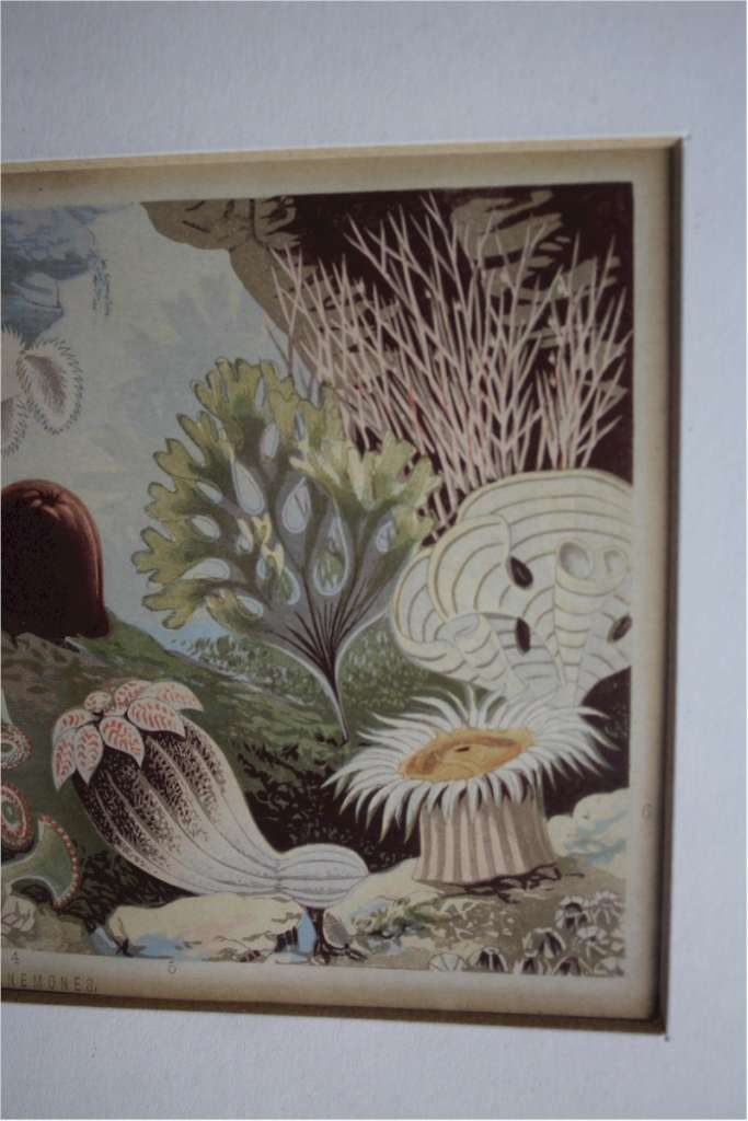Sea anemone framed Victorian coloured print