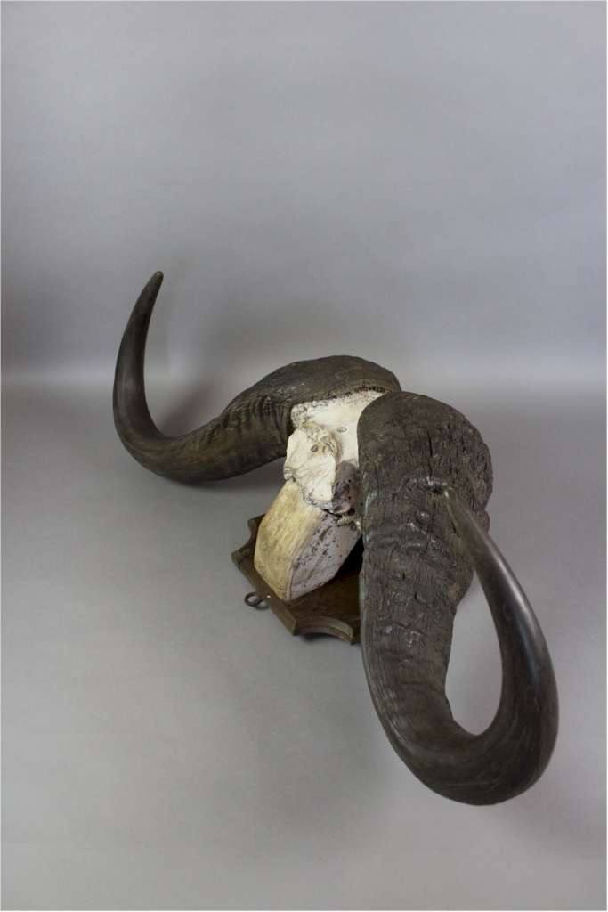 Water Buffalo horns mounted on shield dated 1933