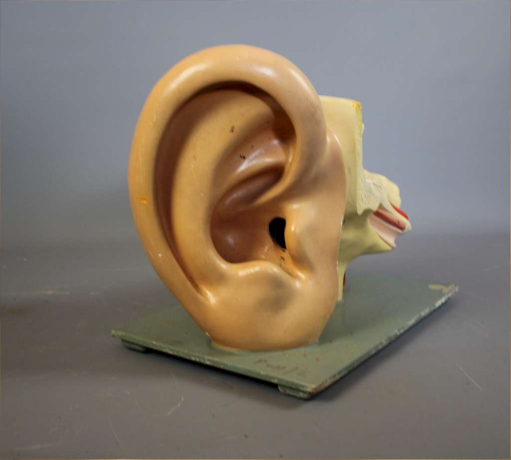 Anatomical model of the human ear